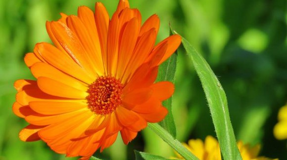 Qualities of the Calendula on the skin care and health